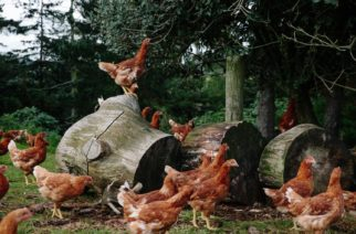 Free-range Egg Producer Admits 'Culling' Young Hens